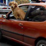 犬の車酔いは酔い止め薬で吐くのを防止!アロマやツボで克服も?