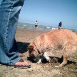 犬が布団やソファーを掘るという行動の意味と理由!