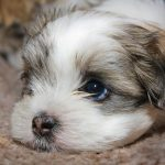 犬の上目遣いの表情の心理や気持ちの意味と理由!伏せと立ちの違い