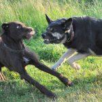 危険な最強犬種ランキング!死亡事故や闘犬の歴史まとめ!