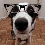高知能犬種ランキング!人間だと何歳くらいなのか?