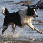 ボーダー・コリーの特徴と性格や飼い方、気を付けたい病気