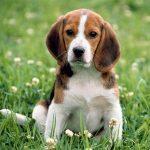 犬のしつけコマンドの言語!英語と日本語のメリットとデメリット
