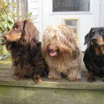 ミニチュア・ダックスの特徴と性格や飼い方、注意したい病気と寿命