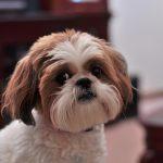 シー・ズーの特徴と性格や飼い方、注意したい病気と寿命