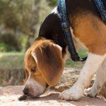犬の嗅覚は人間の何倍凄いのか?なぜか遠距離の匂いは分からない!