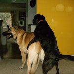 犬のマウンティング行動の意味!腰振りをやめさせる方法!