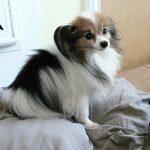 犬のヒートの出血期間と周期!症状は生理痛だけ?