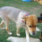 犬のサマーカットは逆効果?バリカンは毛質が変わり危険
