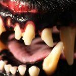 犬の歯周病を放置すると抜歯が必要!治療法や値段について