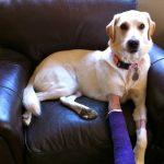 犬が痛がらないのにびっこを引く原因は仮病かも