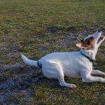 犬のヘルニアの初期症状と治療法!手術の費用やリスクとは