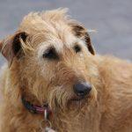 老犬の認知症・痴呆症の症状について